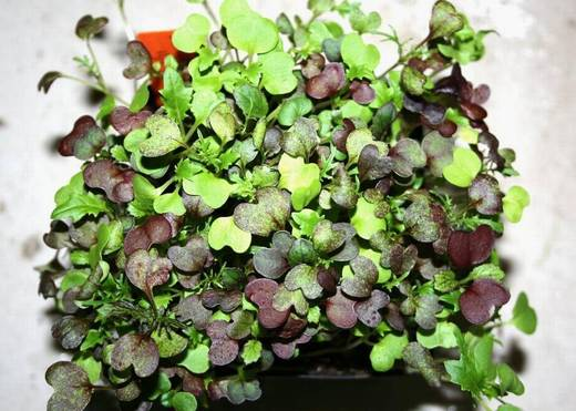 Microgreens for the masses: A quick and easy guide for how to grow your own (The Sacramento Bee)